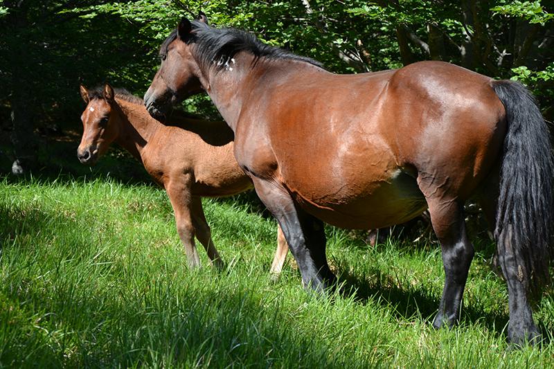 cavalli selvaggi aveto