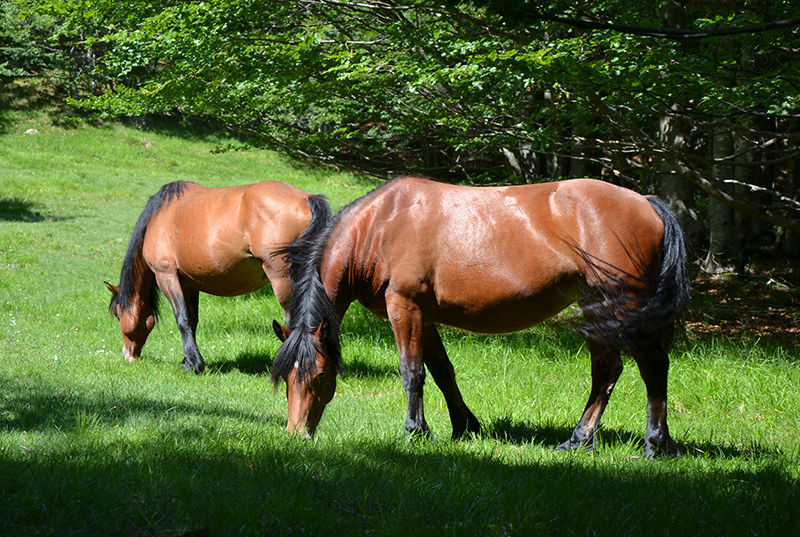 cavalli 5