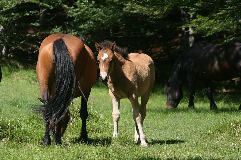 cavalli 4