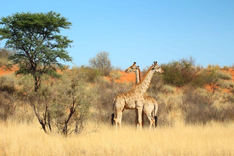 villa rosetta giraffe