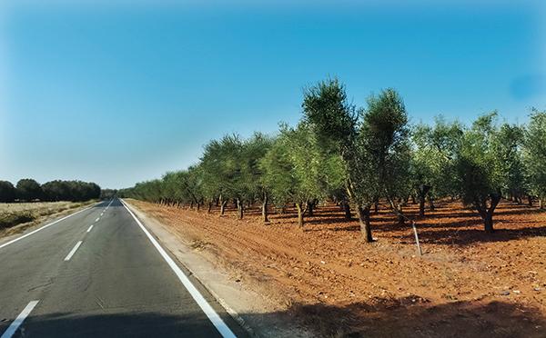 ulivi-puglia-mesagne